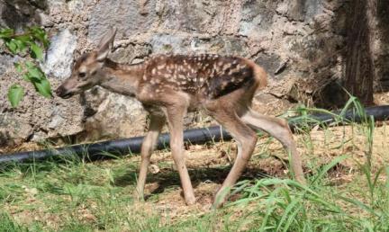 Terkedilen yavru geyik hayata tutundu
